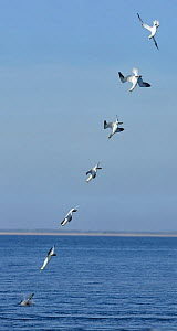 Northern Gannet (Morus bassanus) diving into the sea, sequence. Republic of Ireland. Composite image  -  Guy Edwardes