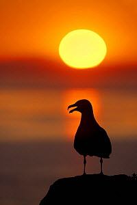 Great black-backed gull (Larus marinus) silhouette against sunset, Saltee Islands, Co. Wexford, Ireland, June  -  Guy Edwardes