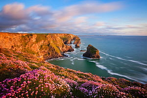 Bedruthan Steps coastline with flowering thrift in spring, St. Eval, Cornwall, England, UK, May 2010.  -  Guy Edwardes