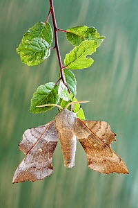 Poplar hawk moth (Laothoe populi) on leaf, Dorset, England, UK. July 2006.  -  Guy Edwardes