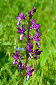 Loose-flowered orchid (Anacamptis laxiflora), naturalised plant, Wakehurst Place, Sussex, England, May.  -  Linda Pitkin