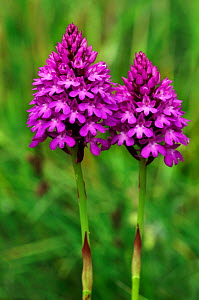 Pyramidal orchids (Anacamptis pyramidalis) two in flower, Riddlesdown, Surrey, England, July.  -  Linda Pitkin