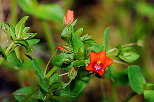 Scarlet Pimpernel (Anagallis arvensis) Papercourt Marshes nature reserve (SWT), Send Marsh, Surrey, England, May 2014.  -  Linda Pitkin