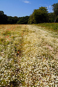 Stinking Chamomile (Anthemis cotula), Vulnerable on the Vascular Plant Red Data List for England. In a field with poppies (Papaver rhoeas).  Ranscombe Farm Nature Reserve, Cuxton, Medway, Kent, Englan...  -  Linda Pitkin