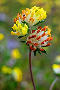 Kidney Vetch (Anthyllis vulneraria) Priest Hill SWT Nature Reserve, Ewell, Epsom, Surrey, England, June 2017.  -  Linda Pitkin