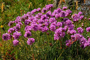 Thrift (Armeria maritima), naturalized Dorking Cemetery, Surrey, England, June.  -  Linda Pitkin