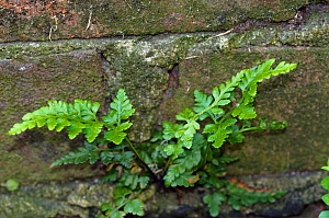 Black spleenwort (Asplenium adiantum-nigrum), a fern growing on a wall, St Peter's Church, West Molesey, Surrey, England, May.  -  Linda Pitkin