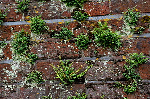 Wall-rue (Asplenium ruta-muraria), and Maidenhair Spleenwort (Asplenium trichomanes), ferns growing on wall, Ham House meadow, Ham, Surrey, England, June 2014.  -  Linda Pitkin