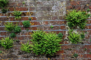 Maidenhair spleenwort (Asplenium trichomanes), and Wall-rue (Asplenium ruta-muraria), ferns growing on wall, Ham House, Ham, Surrey, England, June.  -  Linda Pitkin