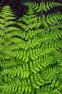 Lady fern (Athyrium filix-femina), Esher Common SSSI, Surrey, England, May.  -  Linda Pitkin