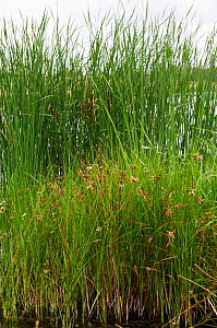Sea club-rush (Bolboschoenus maritimus), locally rare plant,In foreground, with Bulrush, Reedmace (Typha latifolia) behind. Molesey Reservoirs Nature Reserve, Surrey, England, July.  -  Linda Pitkin