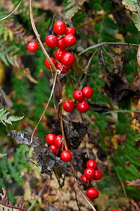 White Bryony (Bryonia dioica) Okewood Hill, Surrey, England, October.  -  Linda Pitkin