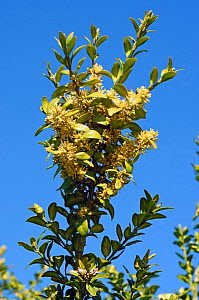 Box (Buxus sempervirens), in flower, locally rare plant,Mickleham Downs, Surrey, England, April.  -  Linda Pitkin