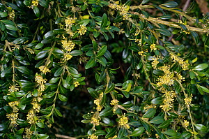 Box (Buxus sempervirens), in flower, locally rare plant,Box Hill, Surrey, England, March.  -  Linda Pitkin