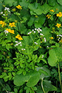 Large bitter-cress (Cardamine amara), and Marsh-marigold (Caltha palustris) The Ledges, Esher Common SSSI, Surrey, England, May.  -  Linda Pitkin