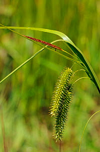 Cyperus Sedge (Carex pseudocyperus) Papercourt Marshes Nature Reserve (SWT), Surrey, England, May.  -  Linda Pitkin