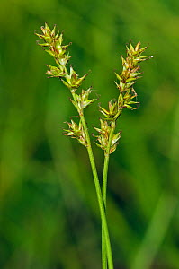 Spiked sedge (Carex spicata) in flower, Hollybush Park, Surrey, England, June.  -  Linda Pitkin