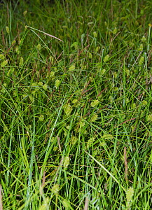 Bladder-sedge (Carex vesicaria) in flower,  Chiddingstone Nature Reserve, Kent, England, UK. June. Vulnerable in England.  -  Linda Pitkin