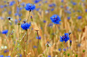 Cornflowers (Centaurea cyanus), locally rare plant, Probably not native at this site. Clandon Wood, West Clandon, near Guildford, Surrey, England, July.  -  Linda Pitkin