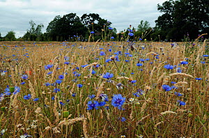 Cornflowers (Centaurea cyanus) growing  with grasses and poppy seed heads,  locally rare plant,Probably not native at this site. Clandon Wood, West Clandon, near Guildford, Surrey, England, July.  -  Linda Pitkin