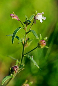 Small toadflax (Chaenorhinum minus), an arable plant in a field. Langley Vale Wood, Surrey, England, August.  -  Linda Pitkin