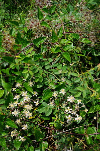 Traveller's-joy (Clematis vitalba), flowers and seed heads, Desborough Island, Surrey, England.  -  Linda Pitkin