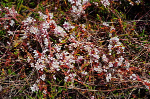 Dodder (Cuscuta epithymum) a locally rare parasitic plant on Cross-leaved Heath (Erica tetralix) Esher Common SSSI, Surrey, England, July.  -  Linda Pitkin