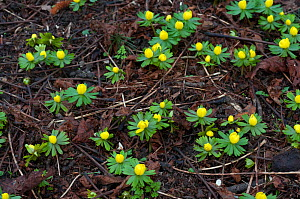 Winter aconite (Eranthis hyemalis), naturalised under trees in a park. Haling Grove, Surrey, England, January.  -  Linda Pitkin