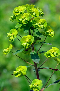 Wood spurge (Euphorbia amygdaloides), in flower, Staffhurst Wood, Surrey, England, April.  -  Linda Pitkin