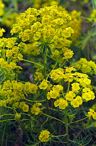 Cypress spurge (Euphorbia cyparissias) flower Epsom Downs, Surrey, England, May.  -  Linda Pitkin