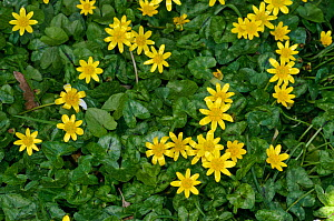Lesser celandine (Ficaria verna, formerly Ranunculus ficaria), on grass roadside verge,  Purley, Surrey, England, March.  -  Linda Pitkin