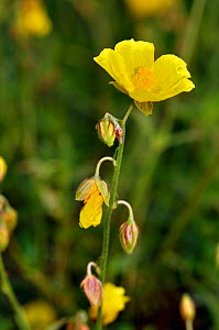 Common rock-rose (Helianthemum nummularium) Surrey, England, July.  -  Linda Pitkin