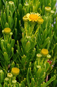 Golden samphire (Inula crithmoides) in flower,  Portland Bill cliff top, Dorset, England, July.  -  Linda Pitkin
