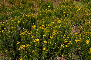 Golden-samphire (Inula crithmoides) in flower,  Portland Bill cliff top, Dorset, England, July.  -  Linda Pitkin