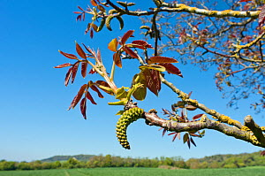 Walnut (Juglans regia), catkins and young foliage, at edge of field, Surrey, England, May.  -  Linda Pitkin