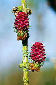 European Larch (Larix decidua), red female flowers (young cones). Oaks Park, Surrey, England, March.  -  Linda Pitkin