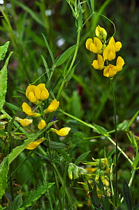 Meadow vetchling (Lathyrus pratensis) in flower, Lopwell Dam Local Nature Reserve, Devon, England, July .  -  Linda Pitkin