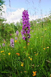 Southern marsh-orchid (Dactylorhiza praetermissa) in flower in meadow, Howell Hill SWT Nature Reserve, Surrey, England, June.  -  Linda Pitkin