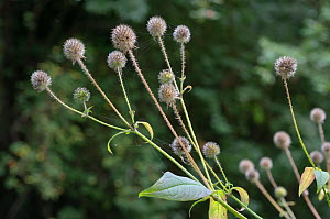 Small teasel (Dipsacus pilosus), seed heads, locally rare plant. Wilderness Island, near River Wandle,Surrey, England, September.  -  Linda Pitkin