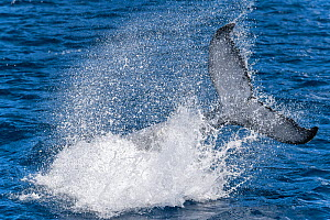 A male Humpback whale calf (Megaptera novaeangliae) practicing how to make big splashes and loud sounds with his fluke and caudal region. Skills like this will become an important part of life for thi...  -  Tony Wu