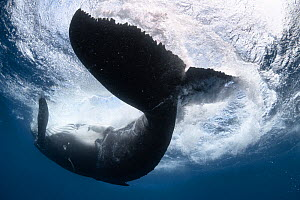 A male Humpback whale (Megaptera novaeangliae) calf playing at the ocean surface. The calf had just lifted its caudal region out of the water, then flipped over so that his belly was facing upward whi...  -  Tony Wu