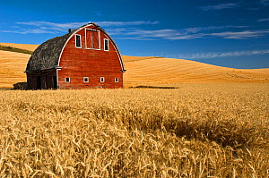 Barn and wheat field in the Palouse farming area of southeastern Washington, USA, August  -  John Shaw