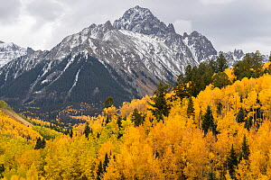 Autumn quaking aspens (Populus tremuloides) with mixed evergreens below the Sneffels Range. Uncompahgre National Forest, Colorado, USA. October.  -  John Shaw