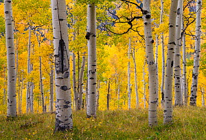 Autumn quaking aspen grove (Populus tremuloides) with trunks scarred by browsing elk (Cervus canadensis). Below Turret Ridge, Uncompahgre National Forest, Colorado, USA. October.  -  John Shaw