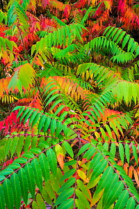 Staghorn sumac (Rhus typhina) leaves changing colour in autumn. Michigan, USA, October.  -  John Shaw