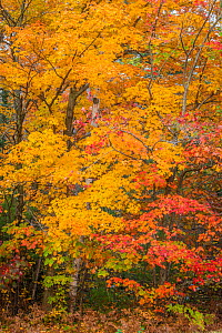 Yellow sugar maple tree (Acer saccharum) and red maple tree (Acer rubrum) in autumn colour. Nicolet National Forest, Wisconsin, USA. October.  -  John Shaw