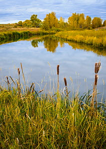 Cattail (Typha sp.) and cottonwood trees surrounding a prairie slough / marsh. Montana, USA, October.  -  John Shaw