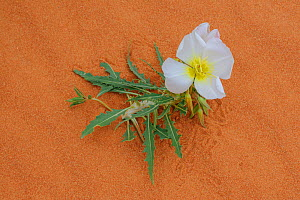 Dune evening primose (Oenothera deltoides), Valley of Fire State Park, Nevada, USA, May.  -  John Shaw