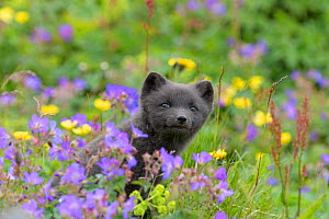 RF - Arctic fox cub (Alopex lagopus) amongst summer flowers, Hornvik, Westfjords, Iceland. July (This image may be licensed either as rights managed or royalty free.)  -  Terry  Whittaker