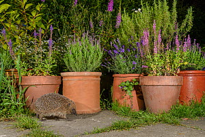 RF - European hedgehog (Erinaceus europaeus), in urban garden, Manchester, UK  (This image may be licensed either as rights managed or royalty free.)  -  Terry  Whittaker